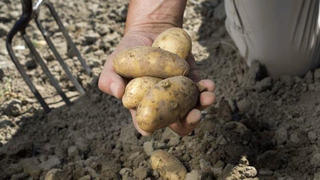 или когда в подмосковье копают картошку купить